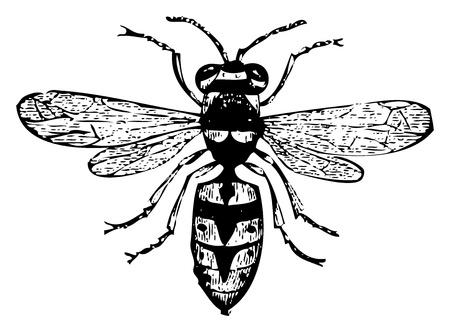 avispa: Ilustración del Antiguo grabado de una avispa o una Vespa vulgaris, aislado en blanco. Vivo trazado. Desde la enciclopedia Trousset, París 1886 hasta 1891.
