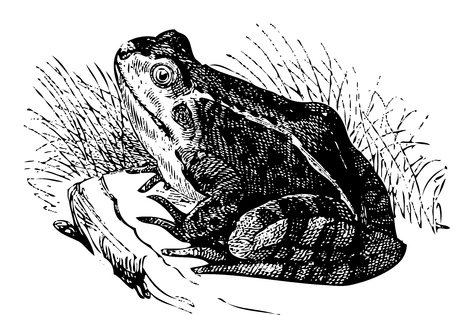 Water frog or Rana esculenta illustration, sitting on a rock and looking at us. Live trace version of an old engraving.From the Dictionnaire encyclop�dique Trousset, also known as the Trousset encyclopedia, Paris 1886 - 1891 Vector