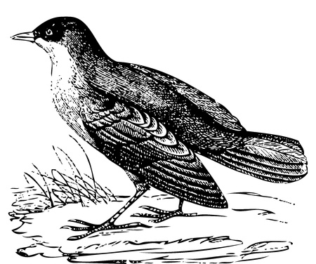 traced: Old engraved illustration of a White-throated Dipper or hydrobata cinclus. Live traced vector version of a scan from the Dictionnaire encyclopédique Trousset, also known as the Trousset encyclopedia, Paris 1886 - 1891.