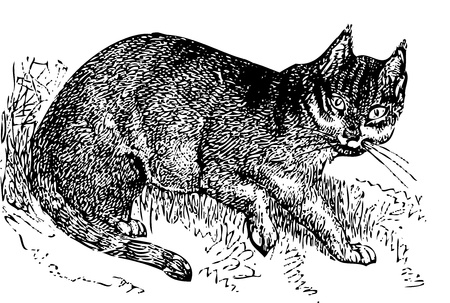 An old engraving of a wild cat (felis catus). From the Dictionnaire encyclopédique Trousset, also known as the Trousset encyclopedia, Paris 1886 - 1891