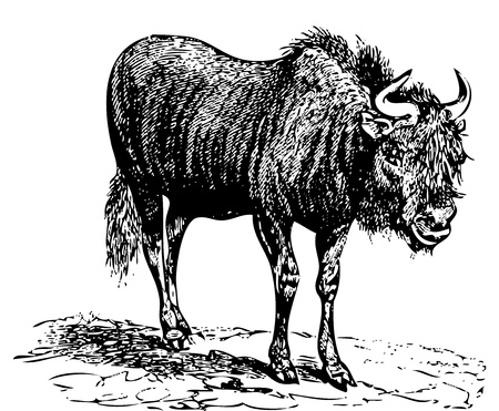 mara: Engraved illstration of a Black Wildebeest (gnu), live traced vector. From the Dictionnaire encyclop�dique Trousset, also known as the Trousset encyclopedia, Paris 1886 - 1891