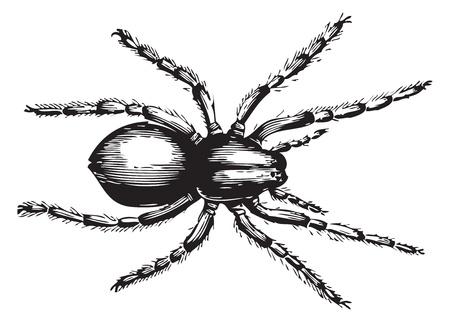 encyclopedias: Geolycosa fatifera (el nombre m�s reciente lycosa fatifera) es un ar�cnido de la familia Lycosidae, o ara�as lobo. Vector ilustraci�n de un grabado antiguo de Trousset 1886 - 1891 enciclopedia