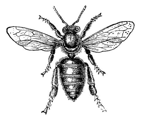 abeja: Abeja obrera, cosecha ilustraci�n grabada. Magasin Pittoresque 1875.