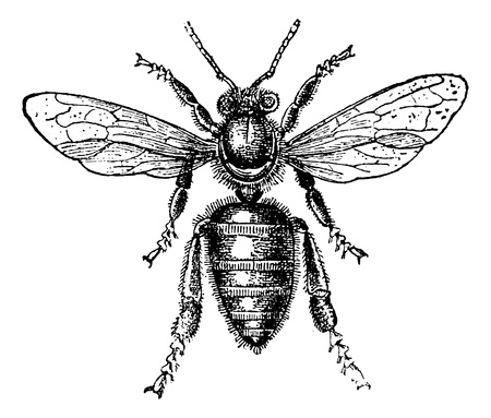 bee pollen: Worker Bee, vintage engraved illustration. Magasin Pittoresque 1875.