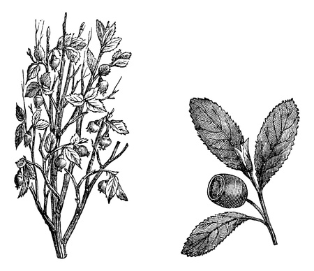 cranberry fruit: Cranberry branch, Fig.58. Cranberry Fruit, vintage engraved illustration. Magasin Pittoresque 1875.