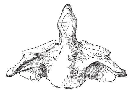 transverse: Fig. 136. Axis (second cervical vertebra), vintage engraved illustration. Magasin Pittoresque 1875. Illustration