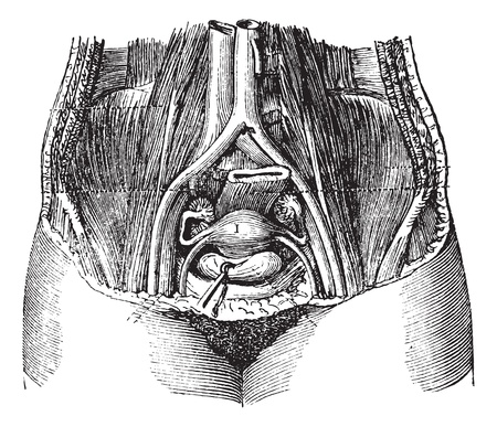 rectum: Fig. 162. Pool of women, with its soft parts, seen from top to bottom and front to back, vintage engraved illustration. Magasin Pittoresque 1875. Illustration