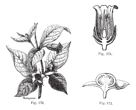 toxic substance: Fig. 170. Belladonna with its leaves, its flowers and fruits. Fig. 171. Cut flower of belladonna. Fig. 172. Cutting the fruit of belladonna, vintage engraved illustration. Atropa belladonna or Atropa bella-donna or Devils Berries or Death Cherries or Dea