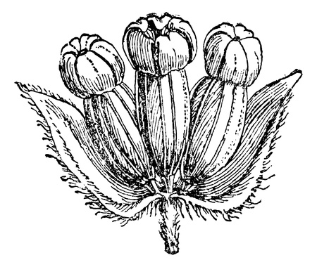 an inflorescence: Hydrocotyle Asiatic (inflorescence) or Centella asiatica, vintage engraved illustration. Magasin Pittoresque 1875.