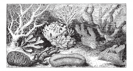 Polyps 1. Meandrines tennis. 2. Oculina flabellicornis. 3. Flustra foliacea. 4. Adeona foliifern. 5. Millepora alcicornis. 6. Spongia simulans. 7. Pavonia lactuca. 8. Fungia echinata. 9. Madrepora verrucosa. 10. Isis nobilis. 11. Rete [pra cellulosa, vint