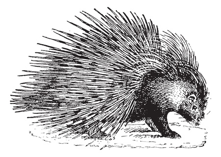 Porcupine,  vintage engraved illustration. Dictionary of words and things - Larive and Fleury - 1895.