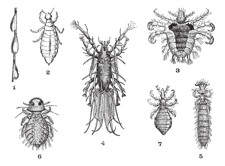 lice: Lice, 1. Pou slow (magnification of 12 diam.). 2. Pou Rights (magnification of 12 diam). 3. Pubic lice (magnified 15 diam.). 4. Pous hornbill (magnification of 15 diam). 5. Louse guinea pig (magnification of 10 diam.) 6. Pou partridge (magnification of 1
