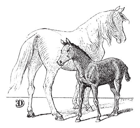 Foal,  vintage engraved illustration. Dictionary of words and things - Larive and Fleury - 1895. Çizim