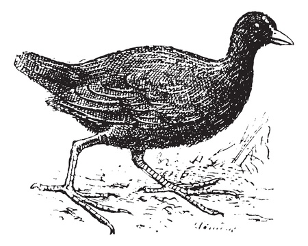 omnivorous: Moorhen, vintage engraved illustration. Dictionary of words and things - Larive and Fleury - 1895. Illustration