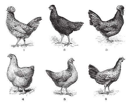 Hens, 1. Houdan chicken. 2. Hen the Arrow. 3. Hen Crevecoeur. 4. Cochin hen. 5. Dorking hen. 6. Chicken of Bresse, vintage engraved illustration. Dictionary of words  and things - Larive and Fleury - 1895. Vector