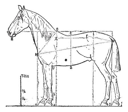 Proportions du cheval, gravé illustration de cru. Dictionnaire des mots et des choses - Larive et Fleury - 1895. Banque d'images - 13766487