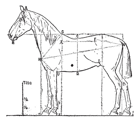 Proportions of the horse,  vintage engraved illustration. Dictionary of words and things - Larive and Fleury - 1895.