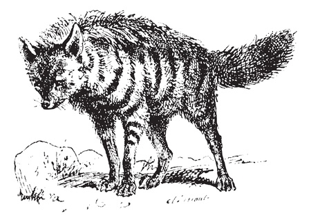 insectivorous: Aardwolf or Proteles cristata or maanhaar jackal, vintage engraved illustration. Dictionary of words and things - Larive and Fleury - 1895.