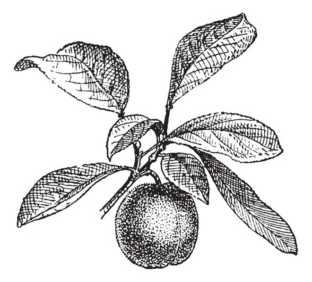 dried plums: Plum, vintage engraved illustration. Dictionary of words and things - Larive and Fleury - 1895.