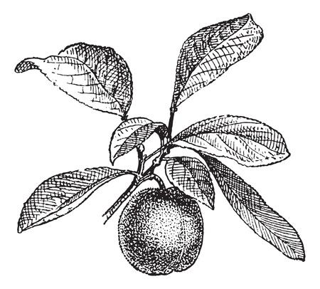 Plum, vintage engraved illustration. Woordenboek van woorden en dingen die er - Larive en Fleury - 1895.