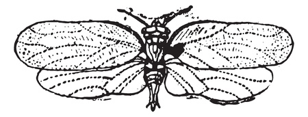 Psyllids or jumping plant lice,  vintage engraved illustration. Dictionary of words and things - Larive and Fleury - 1895. Stock Vector - 13766260