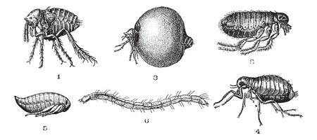 flea: Fichas 1. Chip de penetrante o no-cl�sico conjunto. 2. De chips com�n. 3. O penetrantes elegante conjunto de chips. 4. La pulga del gato. 5. Chip (ninfa). 6. La pulga del gato (las larvas), a�ada una ilustraci�n grabada. Diccionario de palabras y las cosas - Larive y Fleury - 1895. Vectores