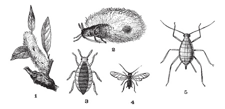 lice: Aphids or plant lice or greenflies or blackflies or whiteflies, 1. Woolly adelgid. 2. Woolly adelgid. 3. Root aphid. 4. Rose aphid (male). 5. Rose aphid (female), vintage engraved illustration. Dictionary of words and things - Larive and Fleury - 1895. Illustration