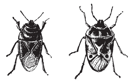 Black bug, Orne Bug,  vintage engraved illustration. Dictionary of words and things - Larive and Fleury - 1895. Ilustrace
