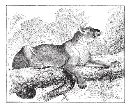 Puma or cougar or mountain lion or catamount or panther or mountain cat, vintage engraved illustration. Dictionary of words and things - Larive and Fleury - 1895. Vector