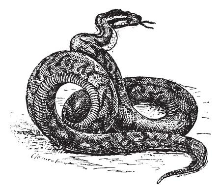 Ilustración del Antiguo grabado de Python. Diccionario de palabras y las cosas - Larive y Fleury? 1895