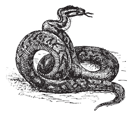 constrictor:  Old engraved illustration of Python. Dictionary of words and things - Larive and Fleury ? 1895