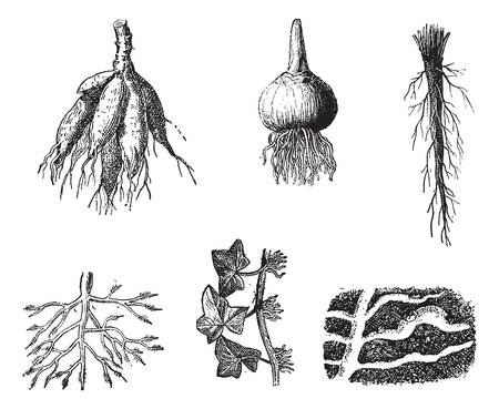 georgina: Old engraved illustration of different stages of Dahlia roots isolated on a white background. Dictionary of words and things - Larive and Fleury ? 1895