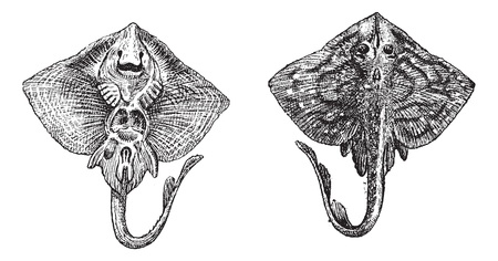 clavata: Old engraved illustration of thornback ray or raja clavata or thornback skate isolated on a white background. Dictionary of words and things - Larive and Fleury ? 1895