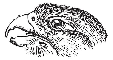 headed: Rapace Falcon testa, vintage illustrazione inciso. Dizionario di parole e cose - Larive e Fleury - 1895.