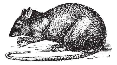 Rat isolated on white background,  vintage engraved illustration. Dictionary of words and things - Larive and Fleury - 1895.