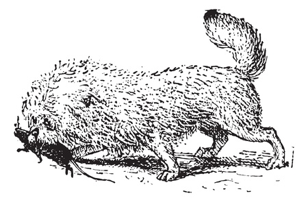 griffon: Ratier Griffon, vintage engraved illustration. Dictionary of words and things - Larive and Fleury - 1895.