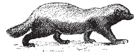 badger: Ratel or Honey badger (Mellivora capensis) isolated on white, vintage engraved illustration. Dictionary of words and things - Larive and Fleury - 1895.