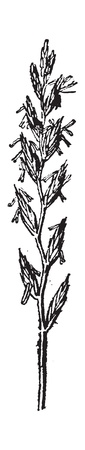 forage: Rye Grass, vintage engraved illustration. Dictionary of words and things - Larive and Fleury - 1895.