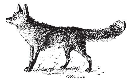 zorro: Fox, cosecha ilustraci�n grabada. Diccionario de palabras y las cosas - Larive y Fleury - 1895.