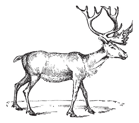 etching: Reindeer, vintage engraved illustration. Dictionary of words and things - Larive and Fleury - 1895. Illustration