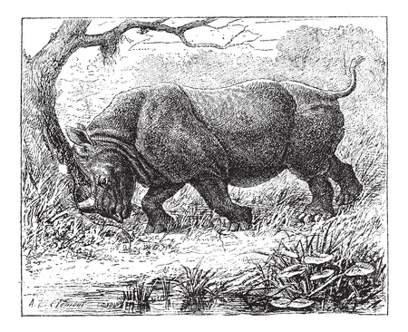 Rhinoceros, vintage engraved illustration. Rhinoceros in forest. Dictionary of words and things - Larive and Fleury - 1895.