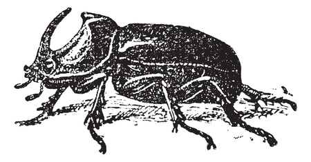 oryctes: European Rhinoceros beetle (Oryctes nasicornis), vintage engraved illustration. Dictionary of words and things - Larive and Fleury - 1895.