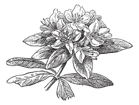 azaleas: Rhododendron, vintage engraved illustration. Dictionary of words and things - Larive and Fleury - 1895.