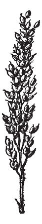 rice plant: Rice, vintage engraved illustration. Dictionary of words and things - Larive and Fleury - 1895. Illustration