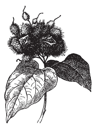 Annatto (fruit) or Roucou or Achiote, vintage engraved illustration. Dictionary of words and things - Larive and Fleury - 1895.