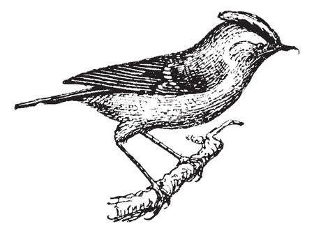 Wren perched on branch, vintage engraved illustration. Dictionary of words and things - Larive and Fleury - 1895. Vector