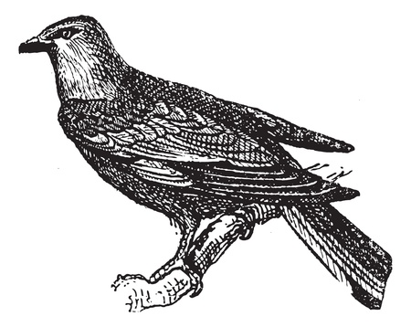 perched: Roller perched on branch, vintage engraved illustration. Dictionary of words and things - Larive and Fleury - 1895.