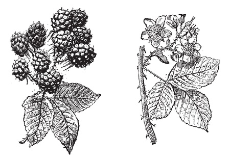 Blackberry flower, Blackberry fruit, vintage engraved illustration. Dictionary of words and things - Larive and Fleury - 1895. Vector