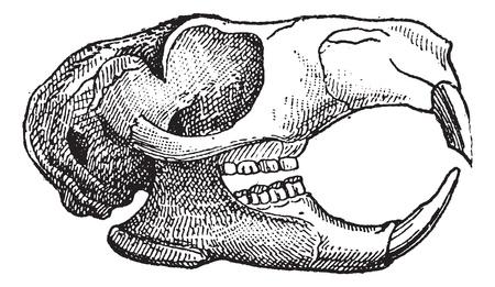Knaagdieren, Kaak van een eekhoorn, vintage gegraveerde illustratie. Woordenboek van woorden en dingen - Larive en Fleury - 1895.