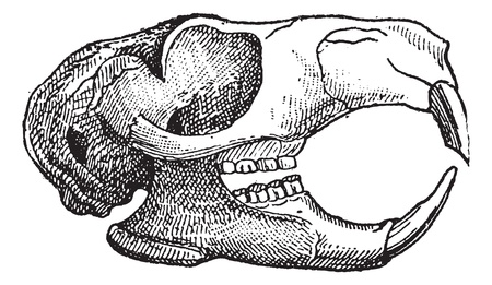 Rodent, Jaw of a squirrel, vintage engraved illustration. Dictionary of words and things - Larive and Fleury - 1895. Vector